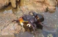 Ośmiornica Atakuje Kraba