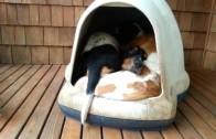 Ile psów mieści się w budzie?