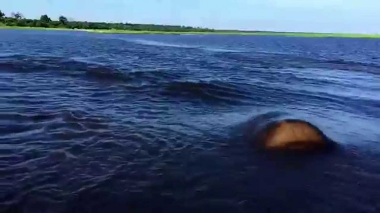 Hipopotam atakuje !!!