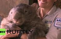 Najstarszy wombat na świecie