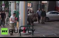 Hipopotam na ulicach Tbilisi