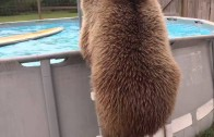 Niedźwiedzie wiedzą najlepiej, jak skacze się na bombę do basenu